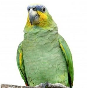 Amazoňan Oranžovokřídlý