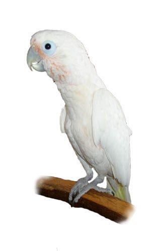 Kakadu Goffinův - 15 KG