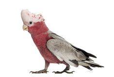Kakadu Růžový - 15 KG