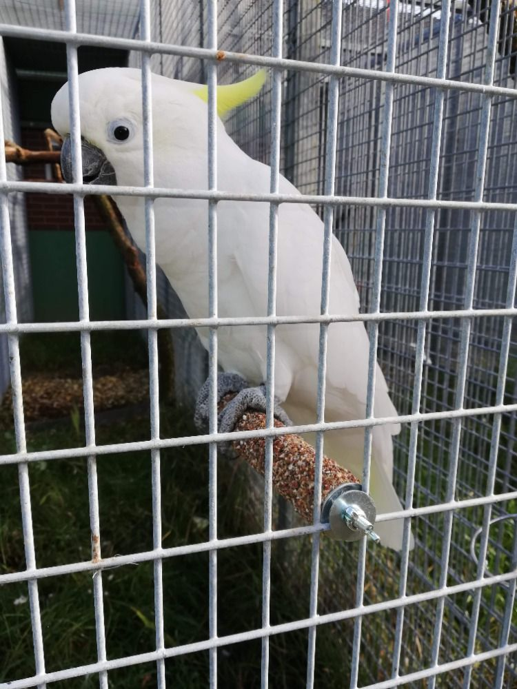 Brusné bidlo (velký papoušek) 30 cm Ø 5,5
