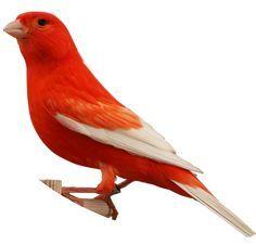 Kanár Červený (1-10 kg rozvážené)