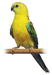 Papoušek Zpěvavý (1-10 kg rozvážené)