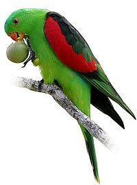 Papoušek Červenokřídlý ( 1 - 10 kg rozvážené)