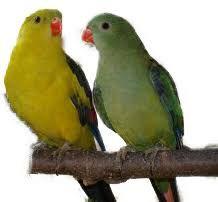 Papoušek Horský ( 1 - 10 kg rozvážené )