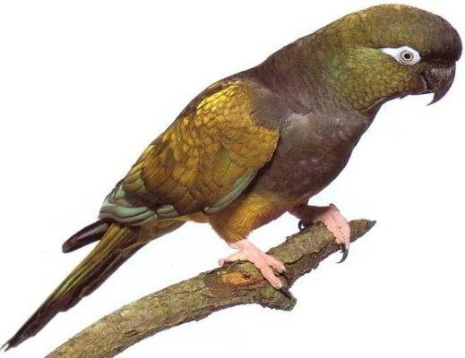Papoušek Patagonský ( 1 - 10 kg rozvážené )