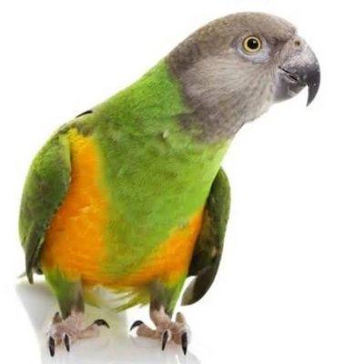 Papoušek Senegalský ( 1 - 10 kg rozvážené )