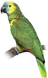 Amazoňan Modročelý ( 1 - 10 kg rozvážené )