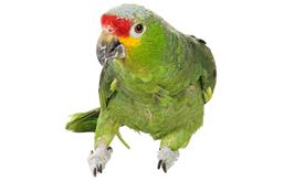 Amazoňan Rudočelý ( 1 - 10 kg rozvážené )