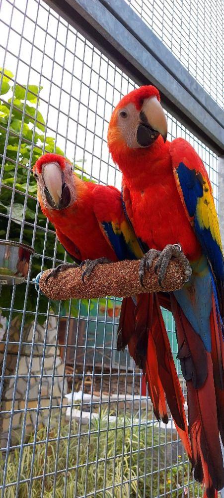Brusné bidlo anatomicky tvarované (velký papoušek) 30 cm Ø 5,5