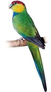 Papoušek Červenočapkový - 20 KG