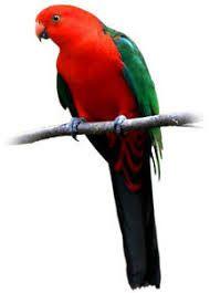Papoušek Královský - 20 KG