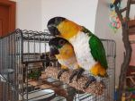 Brusné bidlo 25 cm (pro 2 střední papoušky) Ø 3,2